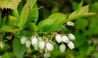 BlueBerry Bush in spring